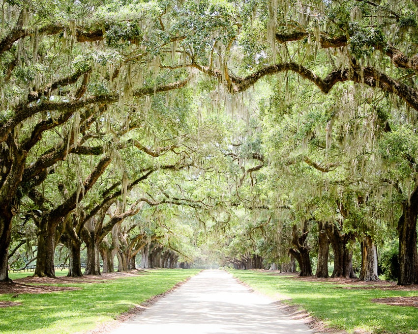 Charleston Art Road Photography Tree Lined Live Oaks Art