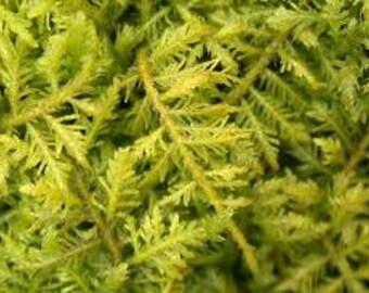 Live Woodland Fern Moss~Terrarium~Native~SHADE/WOODLAND garden~Winter Hardy~Naturalize