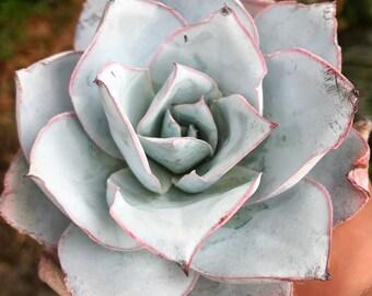 ECHEVERIA CANTE - succulent, cactus, desert, plant, variegated, sedum, fairy