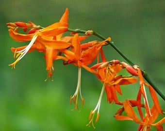 10 Crocosmia aurea Seeds , Falling Stars, Valentine Flower, Montbretia,
