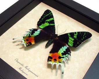 Great Christmas Gift Real Framed Sunset Moth Conservation Shadowbox Display 163