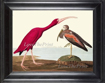 Audubon Scarlet Ibis Bird Art Print 439 Antique Beautiful Red Pink Birds Lake River Illustration  Home Wall Decor Interior Design to Frame