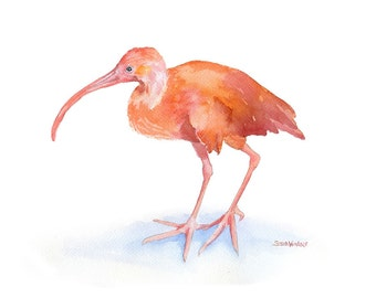 Ibis Watercolor Painting - 10 x 8 - Giclee Print - 11 x 8.5 - Scarlett Ibis