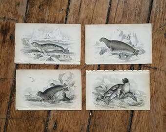 c.1833 ANTIQUE SEAL PRINTS - original antique sea life prints - Jardine animal prints - marine mammals - set of 4 hand colored engravings