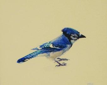 Bluejay, miniature watercolor