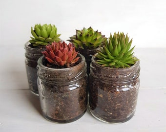 Sempervivum / Succulent Glass Jar Favours (Set of 4 Small) - Gifts, Wedding Favours, Baby Shower Favours