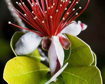 Feijoa Sellowiana Seeds - Pineapple Guava Exotic Fruit!