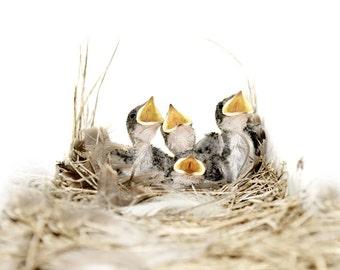 Bird Photography, Wall Art Print, Blue Bird, Birds In Nest