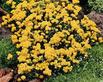 Ageratum- Yellow- 200 Seeds