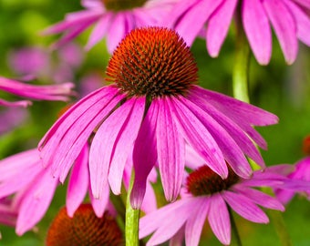 Purple Coneflower - 30 seeds - Blacksamson echinacea - Narrow-leaved purple coneflower - Echinacea angustifolia - Perennial