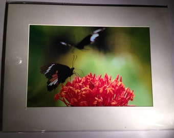 """Butterflies in the Forest - Mounted Wildlife Photo Print (16"""" x 12"""")"""
