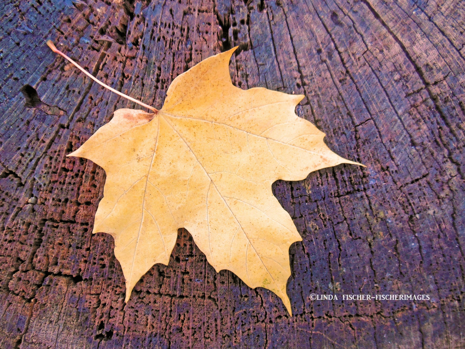 Yellow Maple Leaf on Tree Trunk Nature Fall Wall Art Home