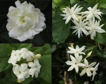 4 Jasmine Collectibles-potted garden plant