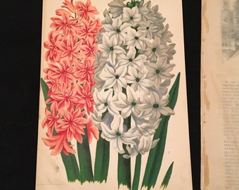1879 Botanical - Pink and White Hyacinth, Original Antique Print, Vibrant Color Lithograph