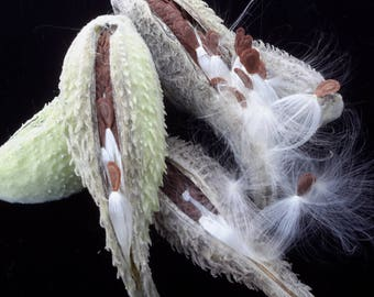 Milkweed Pods with Seeds and Fluff OR Just the Milkweed Fluff & Seeds - Crafting / Wedding Decor