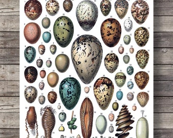 Antique Eggs print | Printable art | Vintage scientific illustration | Bird Eggs Print Nature art print | Natural History art Victorian art