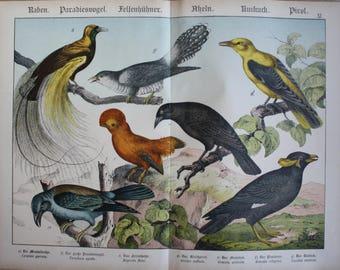 antique print paradisebird cuckoo 1886