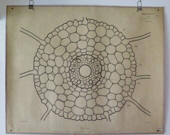 "Antique Botanical School Wall Chart ""Segale Cereale"" German Botanische Wandtafeln Early 1900s"