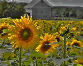 5x7, Sunflower Art, Sunflower Photo, Sunflower Decor, Beach House Art, Living Room Art, Bedroom Art, Sunflower Artwork, Sunflower Gift