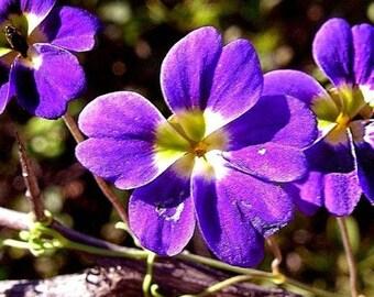 BLUE NASTURTIUM Tropaeolum Azureum Elegant Climbing Vine 5 Seeds