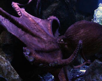 Giant Pacific Octopus Close Up Photograph
