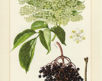 Vintage lithograph of black elderberry from 1958