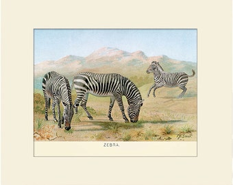 Wild Zebra Print, Art Print with Mat, Note Card, Antique Natural History Illustration, Wall Art, Vintage Wall Decor, Animal Print