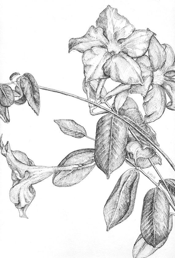 Line Drawing Of Jasmine Flower : Jasmine botanical drawing flower black and white pen original