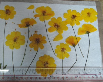 Cosmos  Pressed Flowers