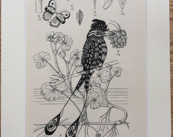 Greater Raquet tailed Drongo, Pen & Ink Bird Illustration, Botanical Print, Bird Lovers Gift