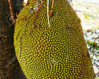 Jackfruit seedlings in a pot with soil, 4-8 inches tall, 1 year old
