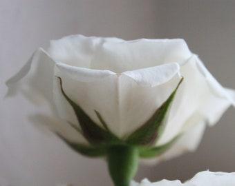 "5"" x 7"" White Rose Petal Detail Fine Art Photo"