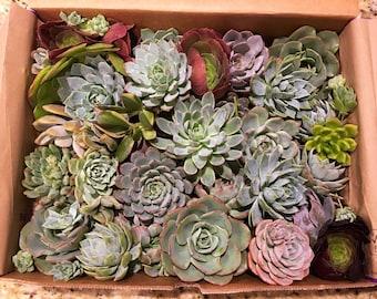 25 Large Succulent Cuttings