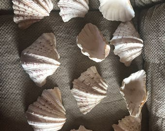 Real clam shells