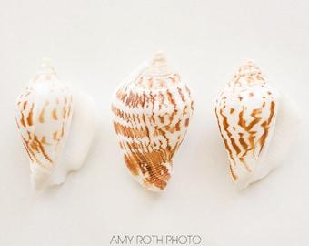 Seashell Print, Sea Shell Photo, Large Wall Art, Oversized Art, Neutral Tan Brown Cream, Sea Shell Photograph, Surf Décor, Seashell Photo