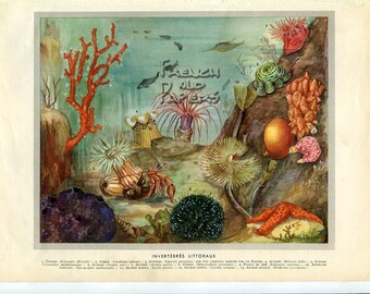 """Ocean Life  - Vintage French Print -   8.3 """"x  11.4  inches -  Zoological Print - A9"""