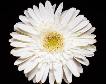 White Daisy, Nature Print, Flower Photograph, Floral Photography - botanical decor, Wall Art Prints, Flower Artwork, Pale Yellow, Gerber