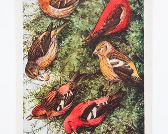 Vintage Print Birds Crossbill North America Color Book Illustration - 1950s