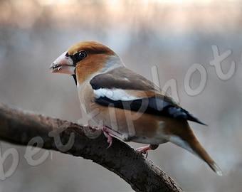 hawfinch# bird # ornithology# twilight# dusk# digital photo# instant download# jpeg