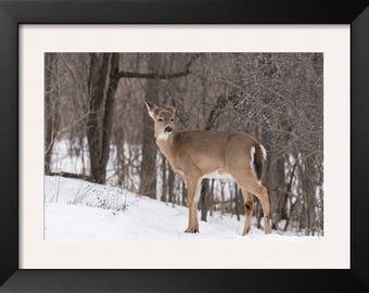 Wildlife Photography, Deer in Winter  - Nature Photography, deer Photo, Animal, Park, spring, fine art print, wall decor, Ottawa photo