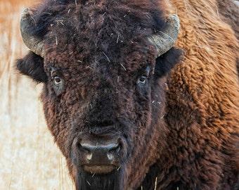 Nature Photography - Staring Contest - Bison / Buffalo - Grand Teton National Park