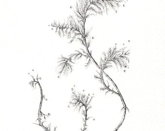 """Delicate Branch art print of an original drawing available 5x7"""" or 8x10"""""""