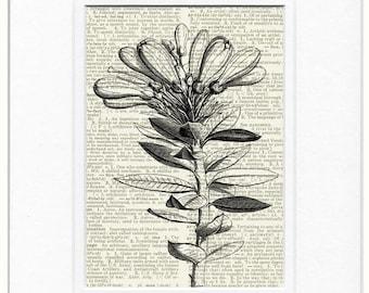 evergreen bush wood engraving print