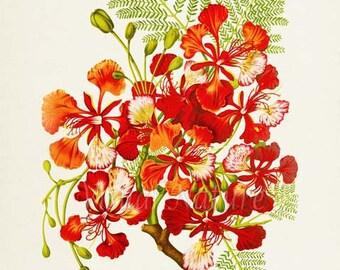 Flamboyant Flower Art Print, Botanical Art Print, Flower Wall Art, Flower Print, Floral Print, Red Art Print