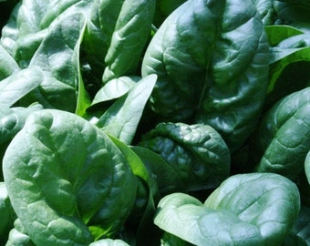1,000 Seeds Bloomsdale Spinach Longstanding