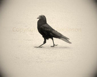 Crow Raven Wings. Bird. Original Digital Photograph. Wall Decor. Giclee Print. STRUT by Mikel Robinson