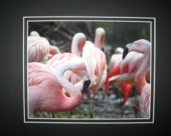 Matted, Chilean Flamingo, South America, Louisville Zoo, Louisville, Kentucky, Fine Art, Photography, Print, Glossy, 8 x 10