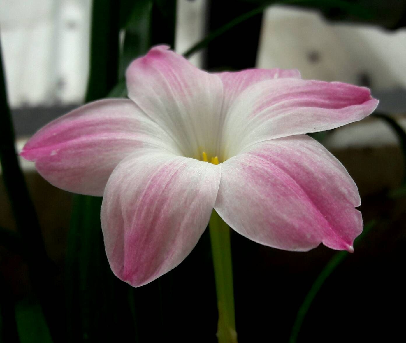 2 rain lily bulbs zephyranthes lily pies description izmirmasajfo