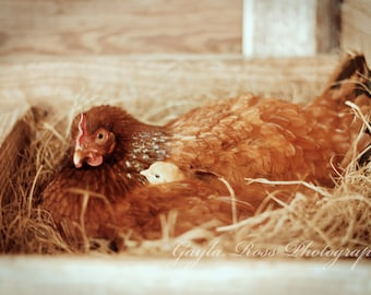 Chicken Photography,Hen Photography,Hen and Chicks,Setting Hen,Rhode Island Red,Rustic Photography,Farm Animal Photography,Barnyard Animal