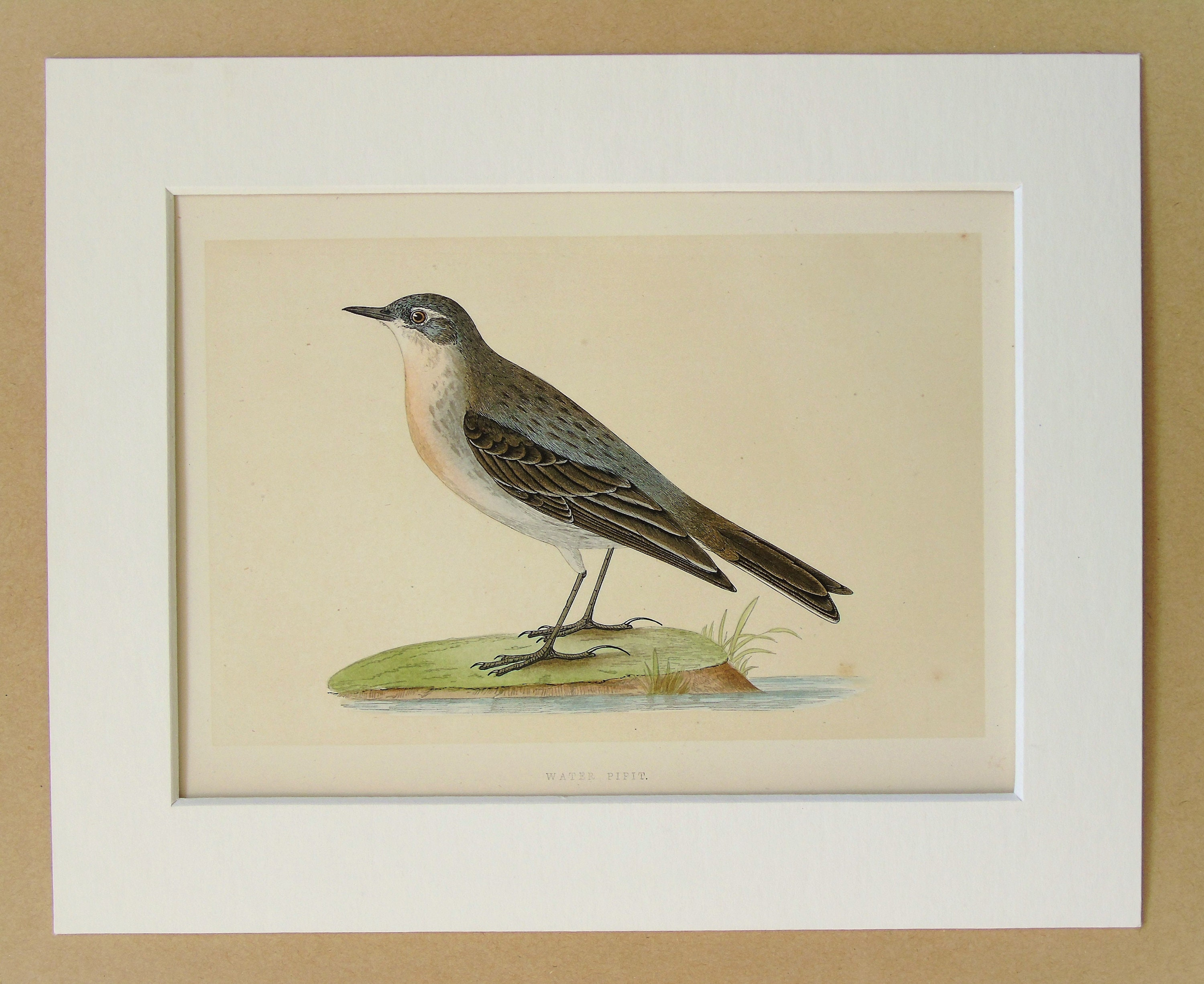 Water Pipit Antique Bird Print by Charles Bree Original